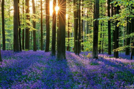 Bluebell_Forest