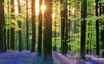Bluebell_Forest_CROP