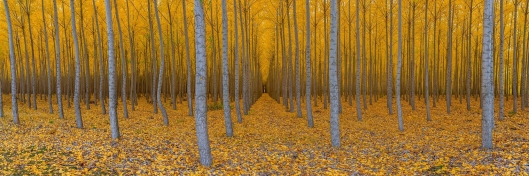 Colors of Fall by Daniel Namdari. Photo taken at a tree farm in Boardman, Oregon, United States. Click here for more of the photographer's work!