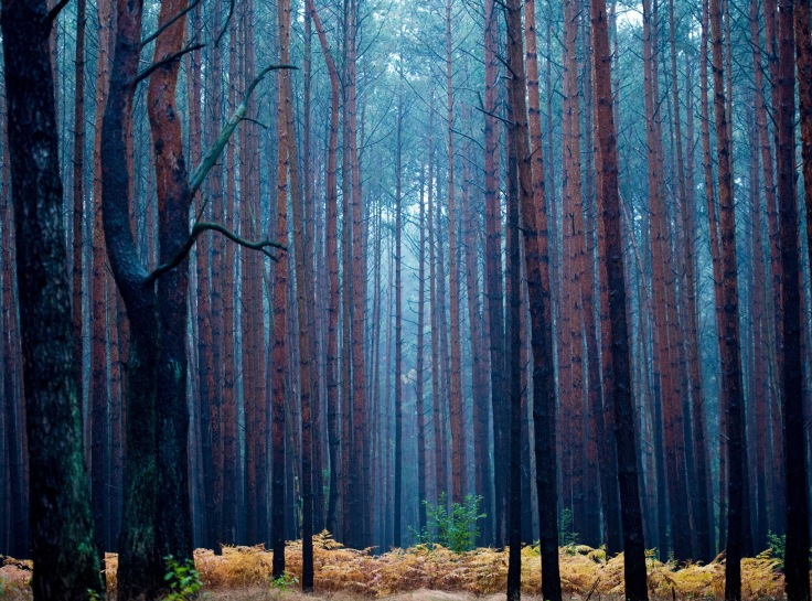 'A Pine Forest in Rainy Autumn' by Patrick Pleul. Photograph taken in Fürstenwalde, Germany. Click here for more of the photographer's work!