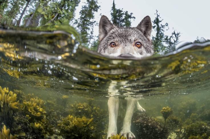 'Wolf' by Ian McAllister
