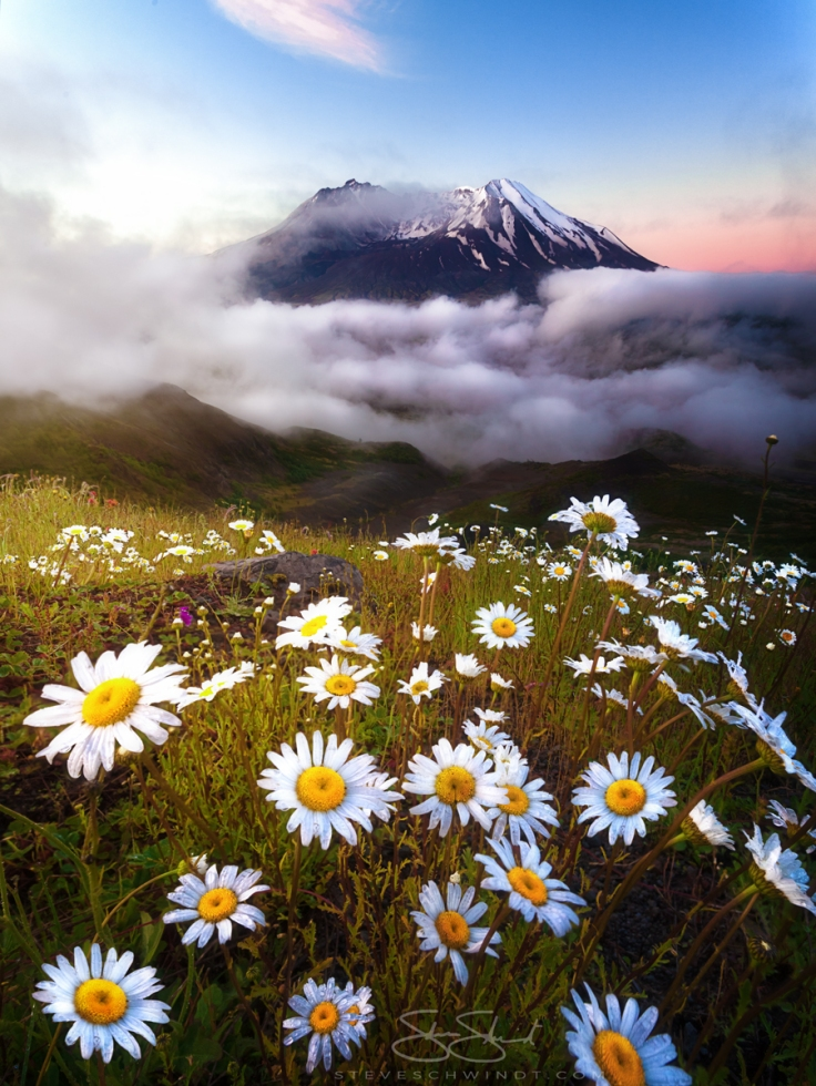 Daisies of Mount St. Helens by Steve Schwindt