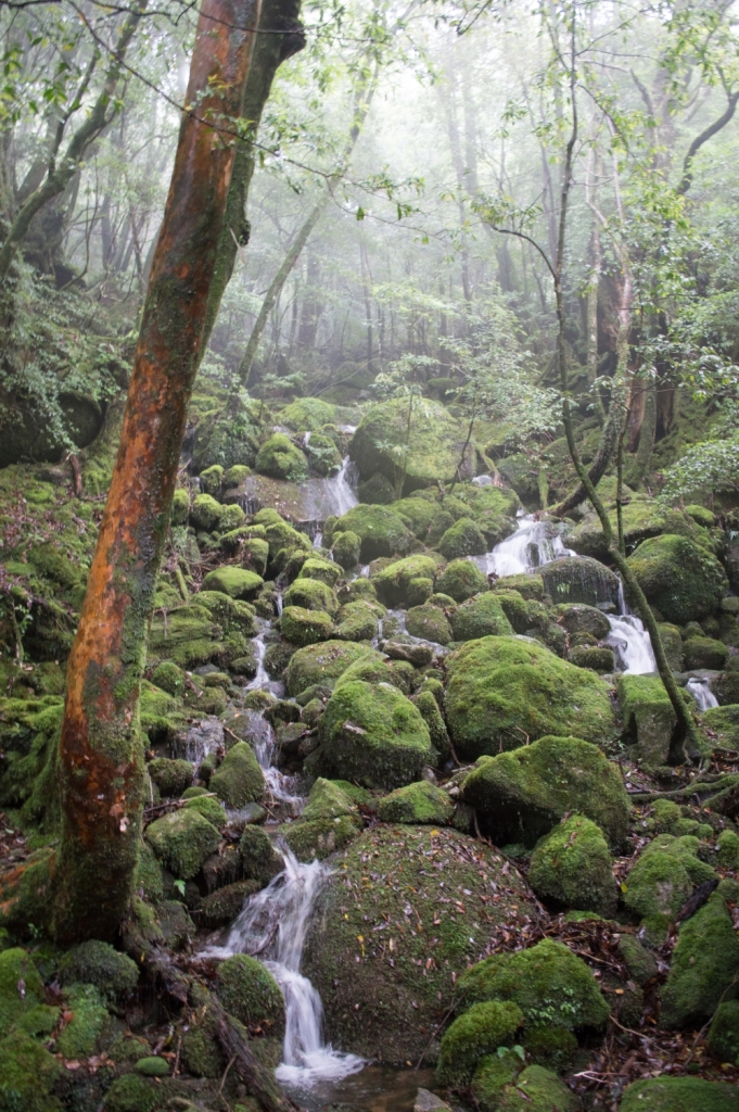 Moss Forest of Yakushima Island, Japan